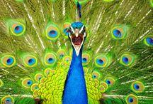 Animals - Half-cocked Peacock Poppycock / by Matt Allen