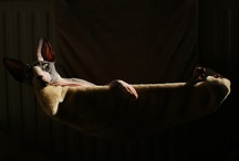 My Sphynx cats / I love Sphynx cats. I have 4 of these lovely creatures, and this board will contain photos of them <3