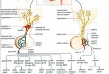 hormonsystemet
