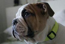 #tadziobuldog #buldogangielski #lovemybuldok / my love my dog