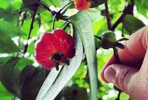 Brazilian fruit / by Arlete DeMelo