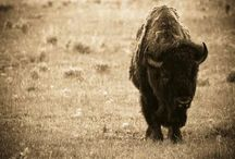 All about Bison / Everything you want to know about Bison and more!