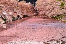 桜CHERRY