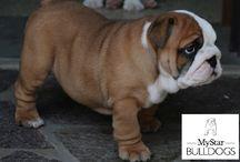 bulldog inglese cuccioli / foto di meravigliosi cuccioli di bulldog inglese