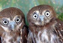 Sowa, Owl, / Sowa w różnych pozach...