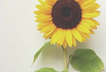 Sunflowers / Flowers and Nature