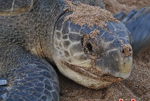 Sea turtles / It's all about sea turtle project running by Bali Sea Turtle Society (BSTS)