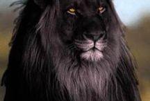 Animales leòn negro / Galeon