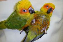 Conure parrots ......there a amazing creature , I love my conure ...