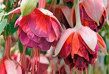 Küpe çiçekleri