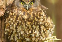 Manu ( Birds )