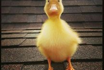 THE DUCK BLOG / Ducks are lovely. Ducks are cute. Ducks rule the world.
