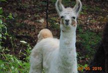 All the Llama Drama! / My love of llamas / by Brenda Wood