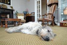 Seamus the Irish Wolfhound / We love our gentle giant, Seamus the Irish Wolfhound. He loves our guests just as much!