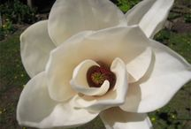 Magnolias / There is a Magnolia for every garden. There are many flower colors and shapes to choose from. You can find a Magnolia will fit just about any space. Many Magnolias have fragrant flowers.