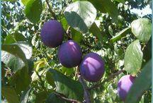Формирование плодовых деревьев