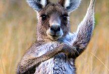 Aussie ~ Fauna