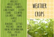 Cold crops