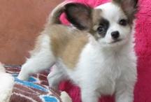 # FOTOS DE PERROS / Chihuahuas puppies  / by Anexayda García