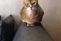 Abyssinian cat, caracat