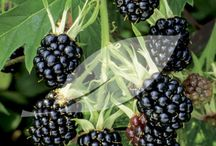 Gardening_perennial edibles