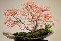 Bonsai / Küçük ağaçlar