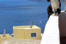 Gatti di Santorini