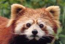 Red Panda / In honor of our newest addition to the Binghamton Zoo at Ross Park, Zhin-Li! / by Binghamton Zoo