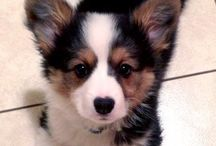 Bernersennehundis :-)