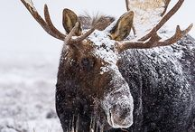 A Moose for You!