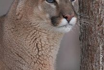 Big beautiful cats / Love this Big animals