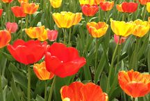 Tulip Time 2015 / Tulip Time May 2-9, 2015. / by Holland Michigan