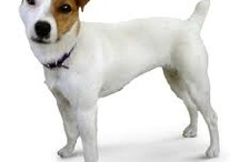 Jack Russell Terriers / by Elyn Hamilton