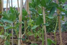 Growing Broad Beans / Advice and tips on growing broad beans