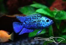 Tropische zoetwatervissen