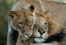 Big Cats - Lions / by Kathleen Calahane