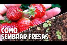 cultivo de fresas desde semilla