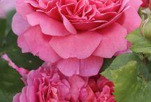 Roses en isolé 2