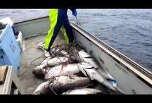 Большой улов. Рыбалка на груперов.(Каменный окунь)