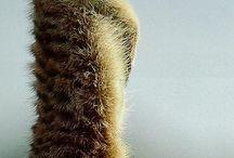 szurikáta