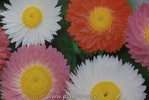 Semillas de Flores / Fotos de las diferente semillas de flores que vendemos en nuestra web