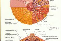 Mell daganat bemutató