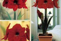 Amaryllis / Beautiful Amaryllis Plants