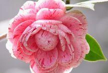 Flowers / Λουλούδια