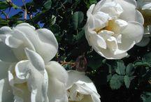 Roses of my own, mina egna rosor, ruusut / Roses, rosor, ruusut - in my garden