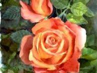 orange rose