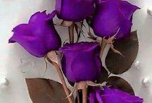 Trandafiri Violet