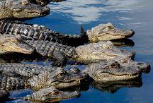 krokodýlové