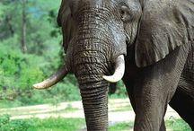Elefant / Elefant