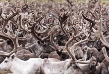 Animales del Ártico / Muchas especies asombrosas viven en el Ártico pero el cambio climático y los planes para perforar en busca de petróleo están poniendo su casa en peligro. Estas fotos son un recordatorio de lo que está en juego si no se toman medidas para salvar el Ártico mientras podamos: www.salvaelartico.org / by Greenpeace Argentina